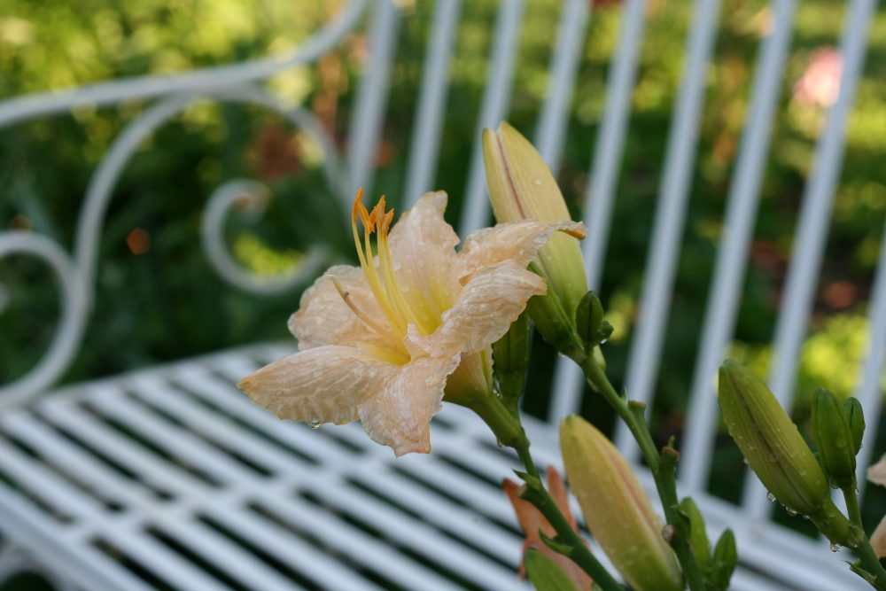 Daylily and garden bench