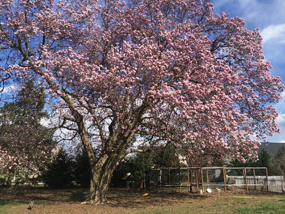 Maplehurst Magnolia